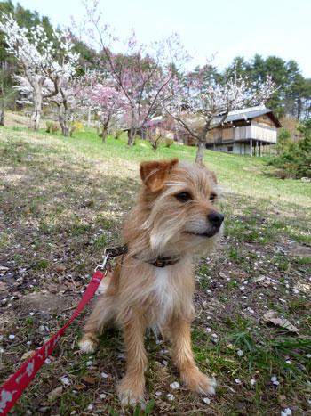 (桜も咲いてただ)