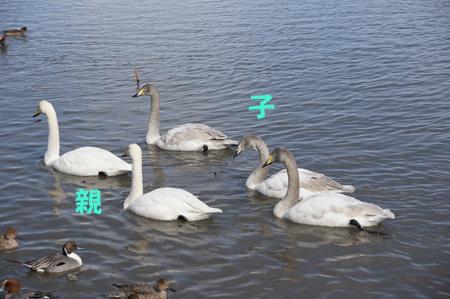 ( 5羽家族 )