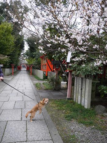 ( 桜だー )