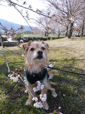 ( 桜とオラ )
