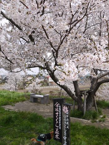 ( 桜の下で )