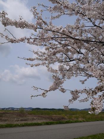 ( 両岸に桜並木 )