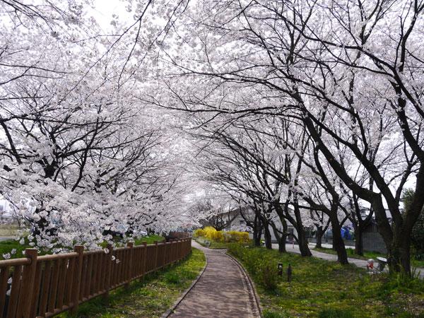 ( 桜のトンネル )
