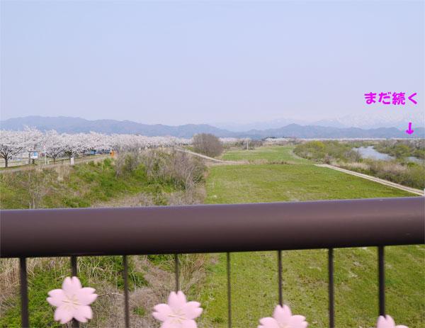 ( 橋の欄干にも桜 )