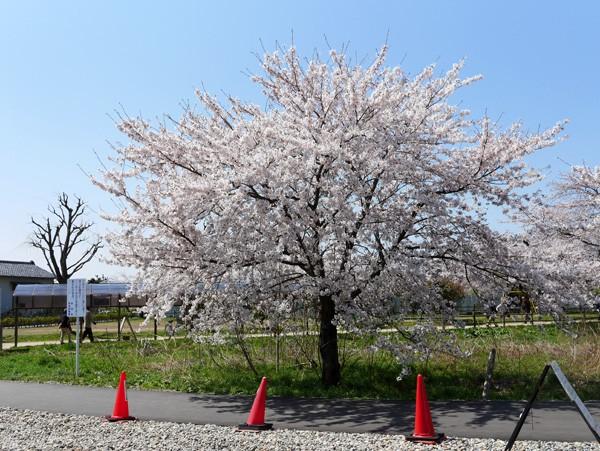 ( テラス席から桜 )