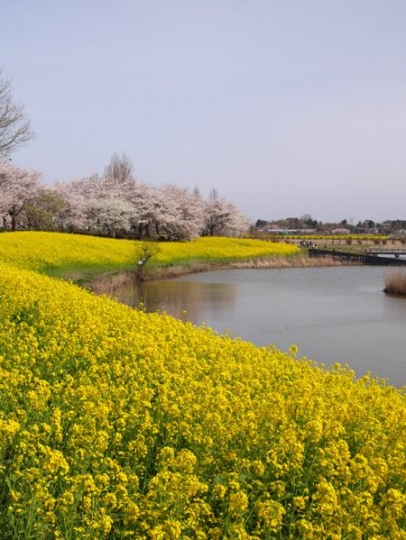 ( 菜の花&桜 )