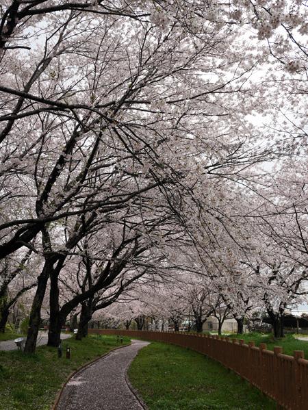 ( 加治川堤の公園は桜吹雪 )