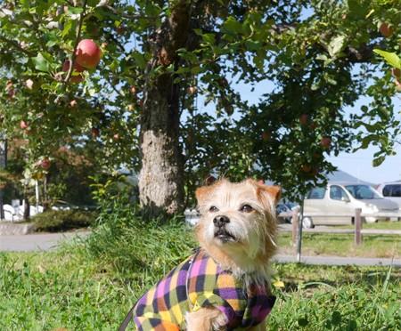 ( りんごの木の下で )