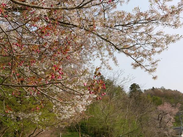 ( 桜がんばってます )
