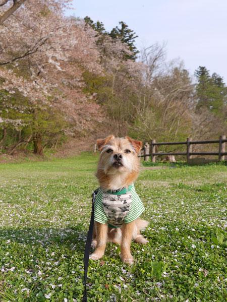 ( 桜吹雪だ )