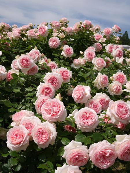 ( 薔薇、バラ、ばら )