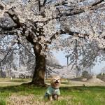 桜ほぼ満開!