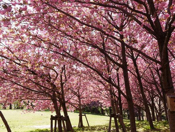 ( 満開の八重桜 )