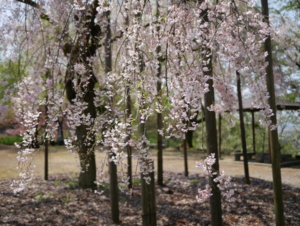 ( しだれ桜 )