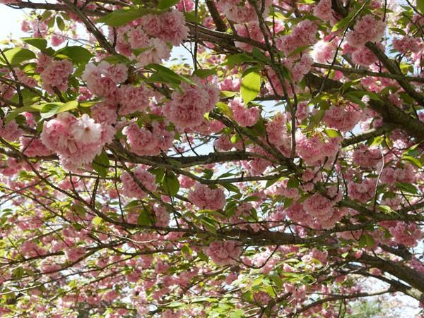 ( 桜の木の下で )