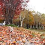 紅葉の笹ヶ峰高原へ