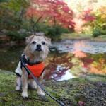 弥彦神社の菊祭り