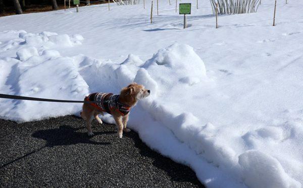 ( 雪あるだよ )