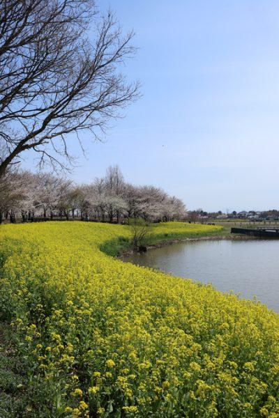 ( 菜の花 with 桜 )
