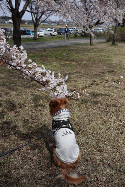 ( 背中の桜だ )