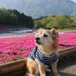 秩父羊山公園の芝桜