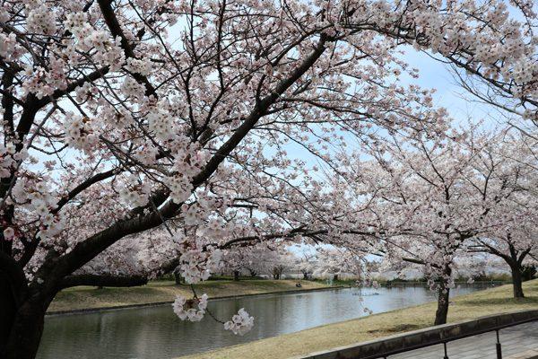 (  カナール前の桜 )