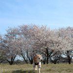 菜の花と桜とドーン