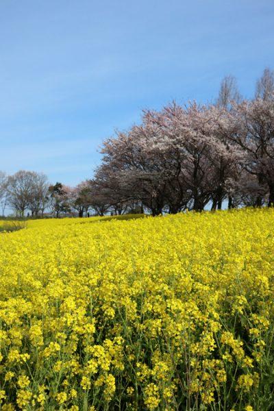 ( 菜の花と桜 )