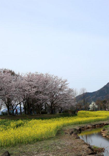(  桜と花の花と曇天 )