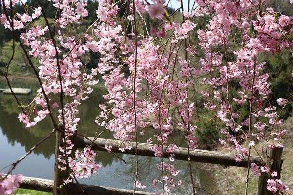 (  枝垂れ桜 )