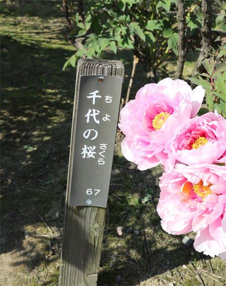 (  千代の桜 )