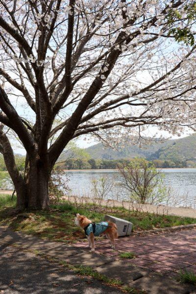 (  猪苗代湖の桜 )