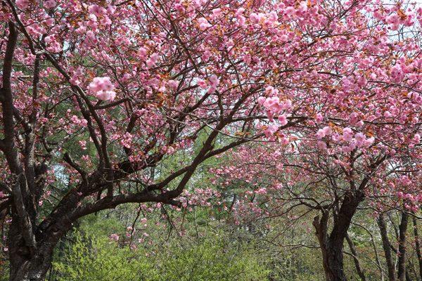 (  八重桜! )