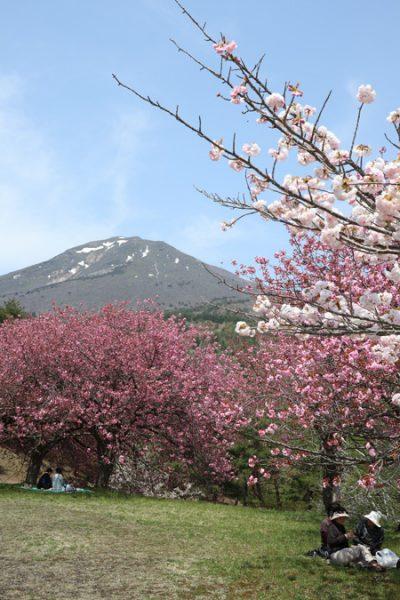 (  八重桜と磐梯山 )