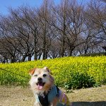 上堰潟公園の菜の花