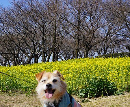 ( 菜の花なんだよ )