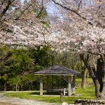 桜がみごろ