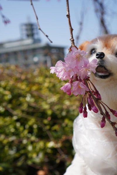 ( しだれ桜も )