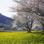 上堰潟公園 桜と菜の花