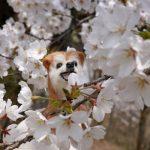 おやまの桜