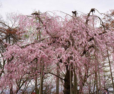 ( 枝垂れ桜2021 )