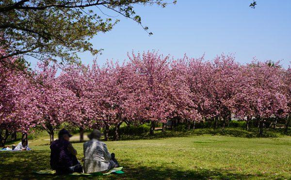 ( 八重桜 )