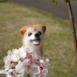 なんという桜?