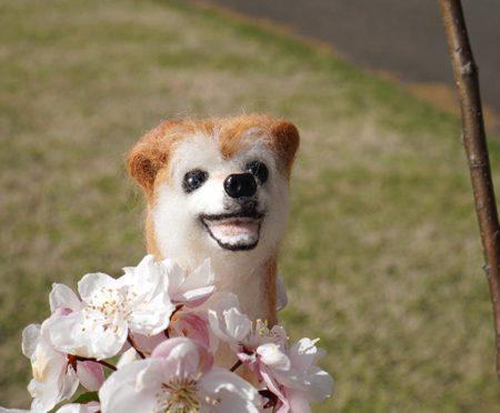 ( 珍しい桜 )